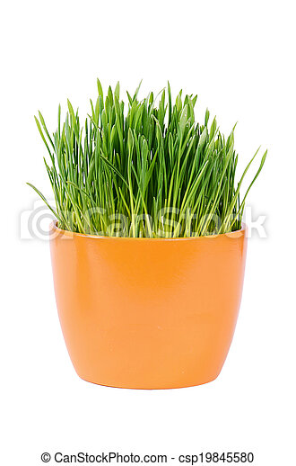 Green grass in pot isolated on white background - csp19845580
