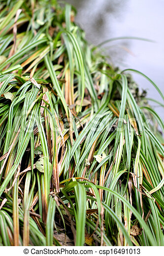 Green grass reeds by the river - csp16491013