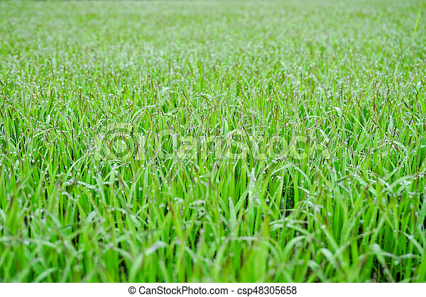 Green Grass With Early Morning Dew Drops - Bokeh In Background - csp48305658