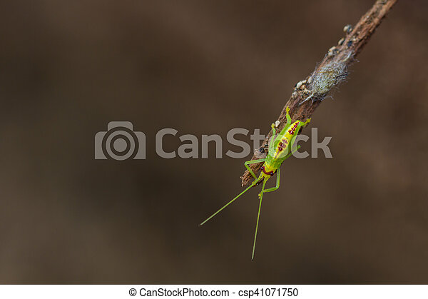 green grasshopper in nature - csp41071750