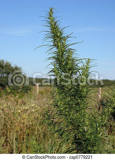 Green hemp - csp0779221