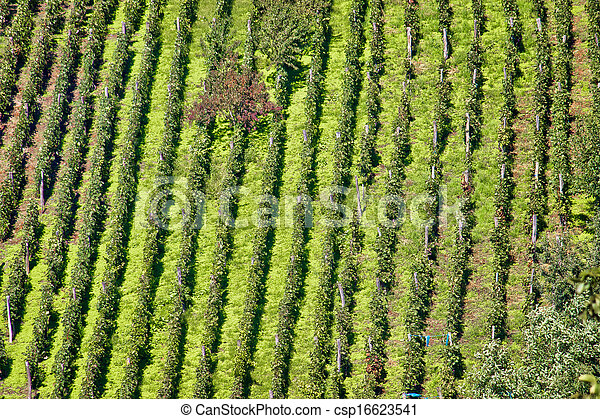 Green hill vineyard aerial view - csp16623541