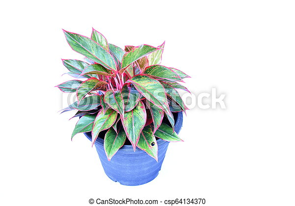 green house plant isolated on white background - csp64134370