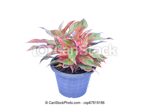 green house plant isolated on white background - csp67819186