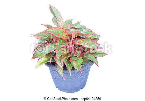 green house plant isolated on white background - csp64134359