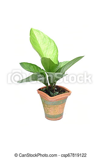 green house plant isolated on white background - csp67819122