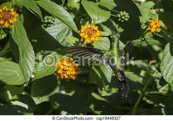 Green Hummingbird feeding - csp19448327