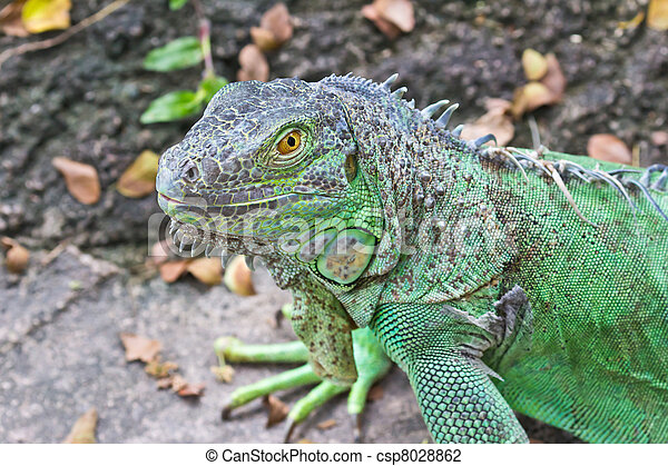 green iguana - csp8028862