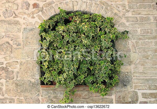 Green ivy growing - csp13622672