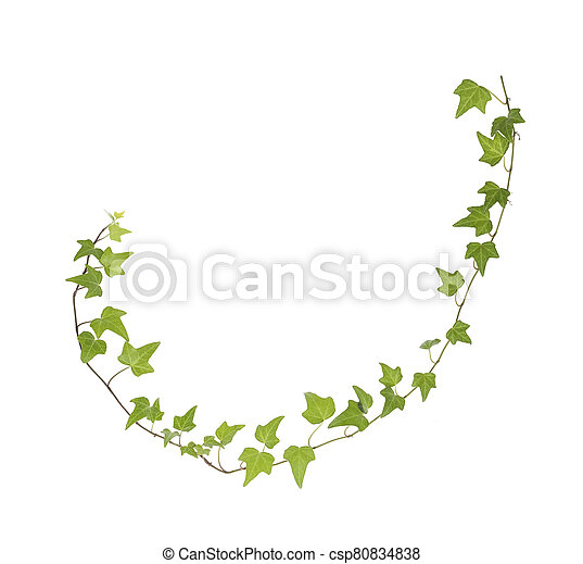 green ivy isolated on a white background. - csp80834838