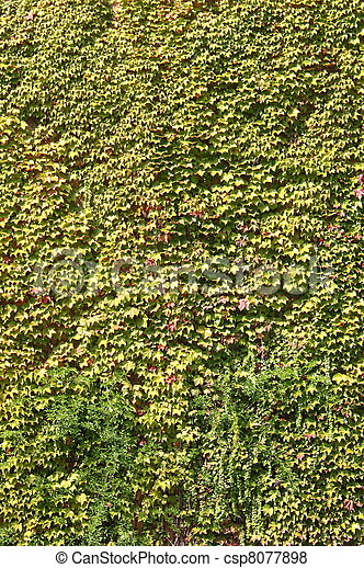 Green ivy leaves on a wall - csp8077898