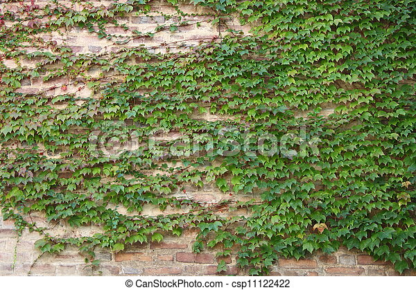 Green ivy leaves on a wall - csp11122422