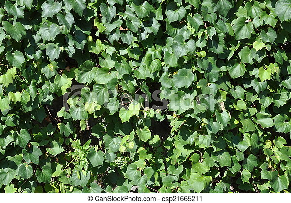 Green ivy leaves on the wall - csp21665211