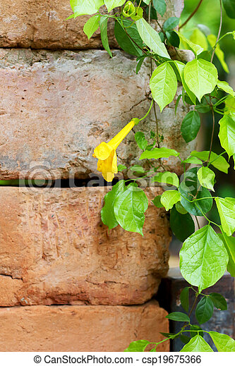 Green ivy leaves on wall - csp19675366