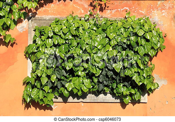 Green ivy on an ancient wall - csp6046073
