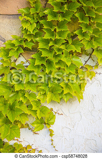 Green ivy on the wall - csp58748028
