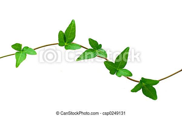 Green ivy on white - csp0249131