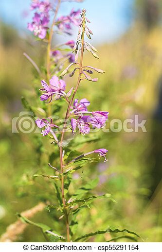 Green juicy grass and gentle violet flowers in the field on a sunny day - csp55291154
