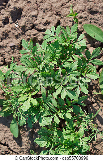 Green laves of Tagetes. Carved leaves. Macro. - csp55703996