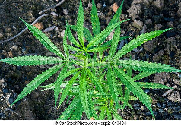 green leaf cannabis indica plant (ganja) - csp21640434