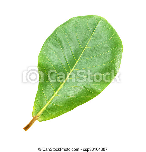 Green leaf isolated on a white background - csp30104387