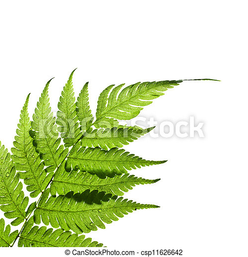 Green leaf isolated on a white background - csp11626642