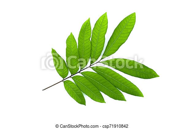 Green leaf isolated on a white background - csp71910842