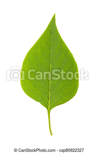 green leaf of lilac on a white background, isolated - csp80922327