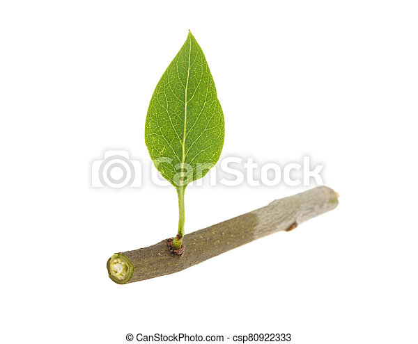 green leaf on a lilac branch on a white background, isolated - csp80922333
