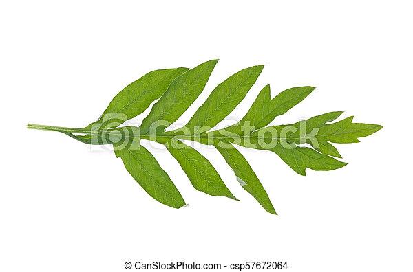 green leaf on white background - csp57672064