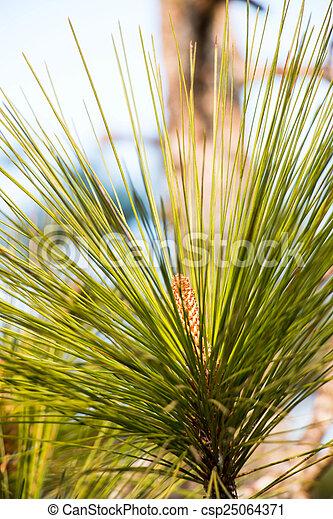 Green leaf pine tree - csp25064371