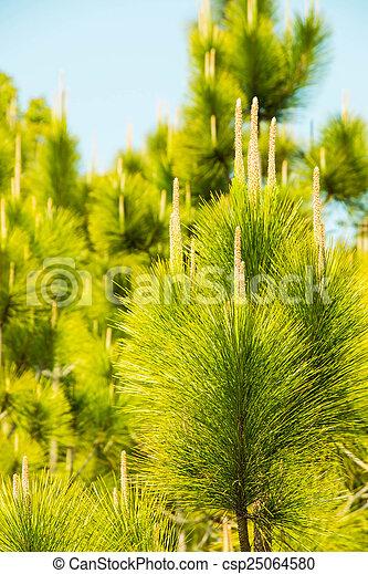 Green leaf pine tree - csp25064580