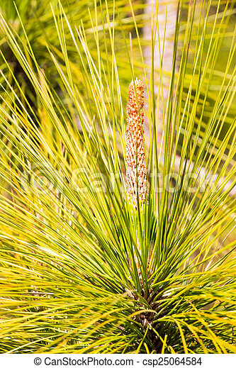 Green leaf pine tree - csp25064584