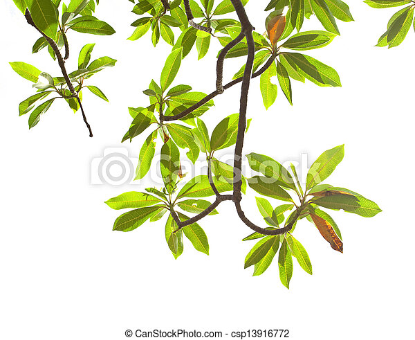 Green leave on white background - csp13916772