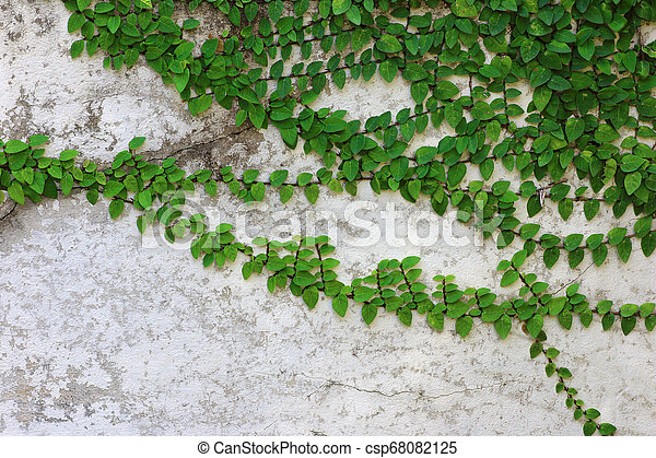 green leaves Climbers stick to the old cement wall - csp68082125