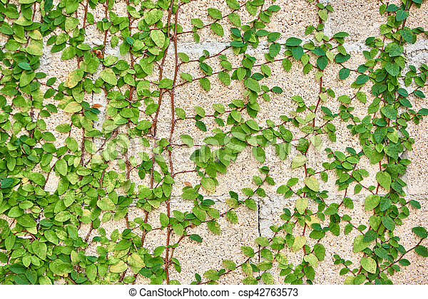 Green leaves growing on a brick wall - csp42763573