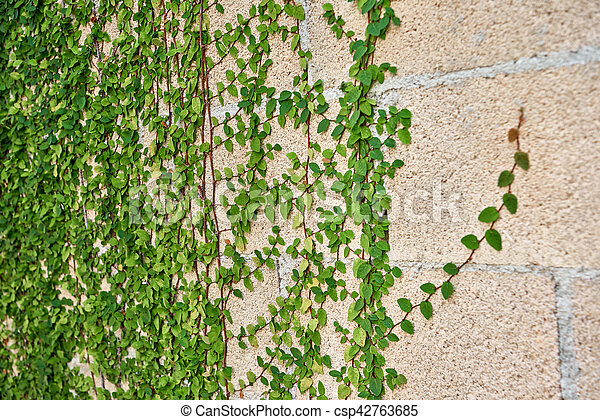 Green leaves growing on a brick wall - csp42763685