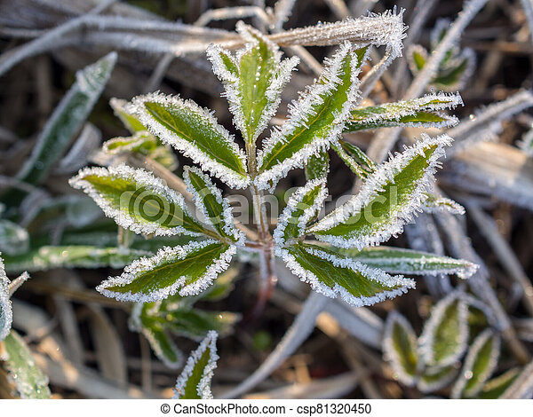 green leaves in hoarfrost - csp81320450