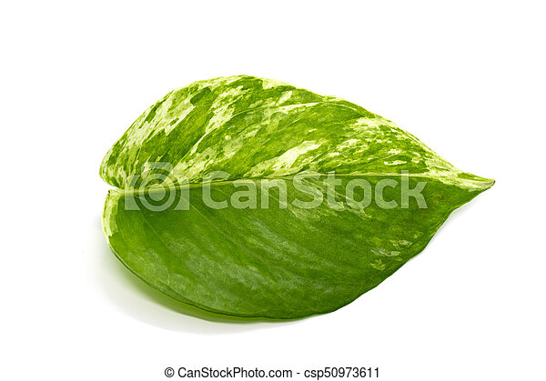 Green leaves isolated on white background. - csp50973611