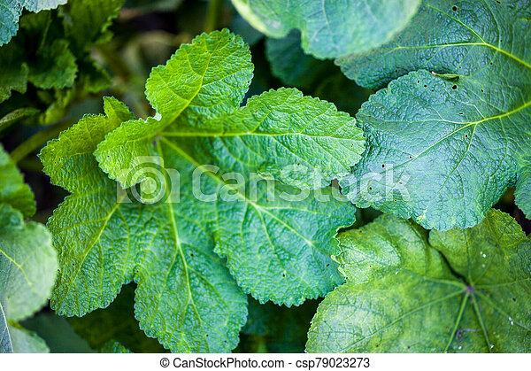Green leaves of malva - csp79023273