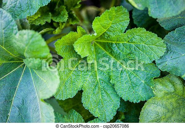 Green leaves of malva - csp20657086