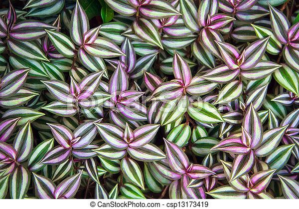 Green leaves of Tradescantia zebrina background - csp13173419