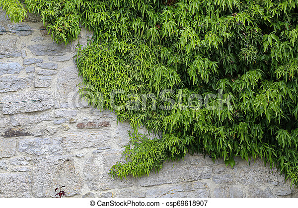 Green leaves of wild grapes weaving on a stone wall - csp69618907