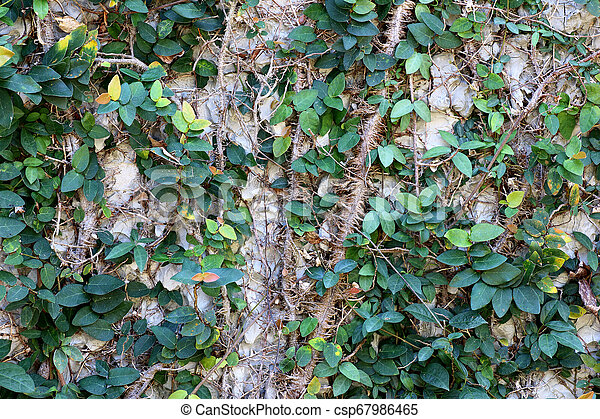 Green leaves on a cement wall background - csp67986465