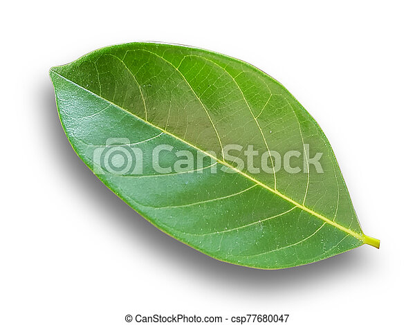Green Leaves on a white background. - csp77680047