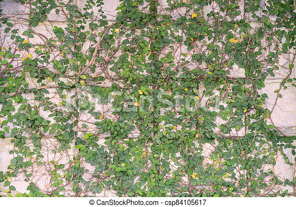green leaves on cement wall textured for background - csp84105617