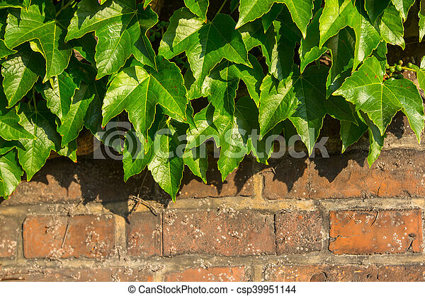 Green leaves on old brick wall. - csp39951144