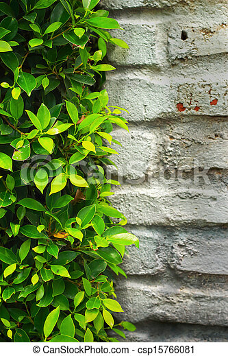 Green leaves on the wall. - csp15766081