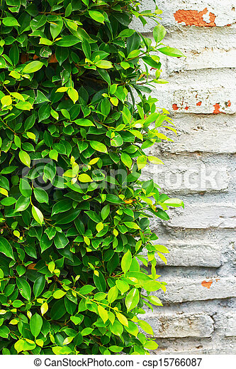 Green leaves on the wall. - csp15766087
