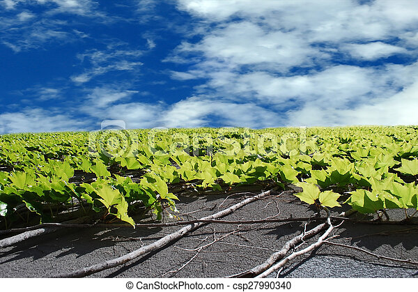 Green leaves on the wall with the blue sky - csp27990340